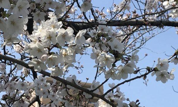 山崎川の桜 開花情報
