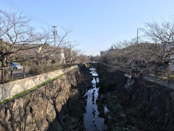 山崎川の桜 2019年3月8日の開花状況