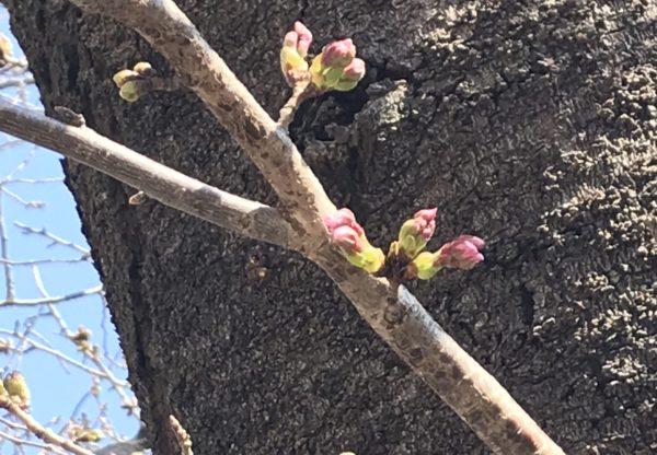 山崎川の桜のつぼみ。ピンクに色づいてもう咲きそう!