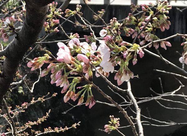 2019年3月22日の山崎川の桜