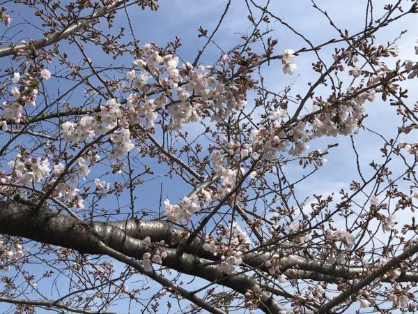 2019年3月26日の山崎川の桜。ちらほら咲いています。