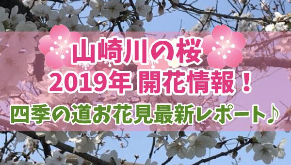 山崎川の桜2019開花情報!四季の道お花見最新レポート随時更新中♪