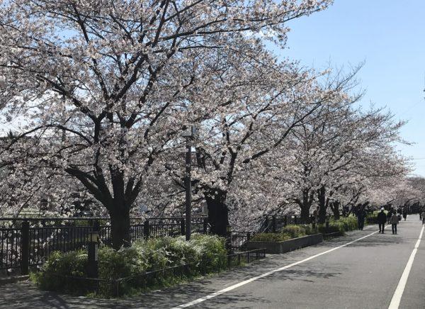 2019年4月3日の山崎川の桜