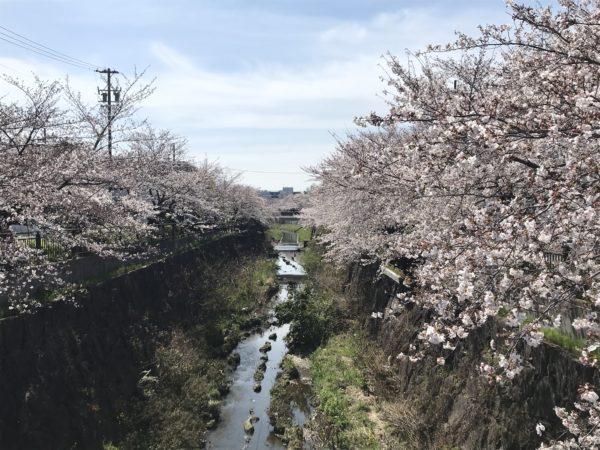 2019年4月5日の山崎川の桜