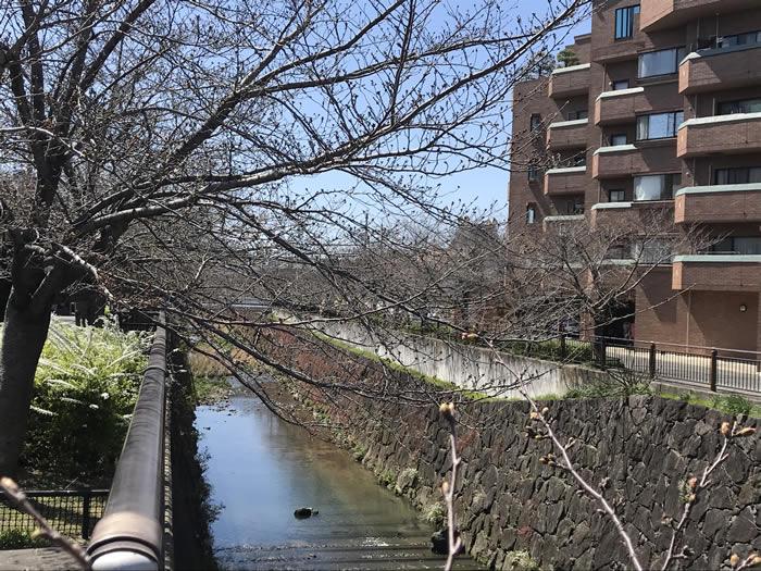 【山崎川の桜2020開花情報】四季の道はどんな状況?